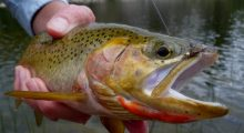 crimson-cutthroat-montana