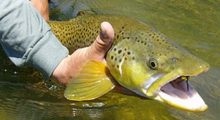 grasshopper-magic-lower-beaverhead-river