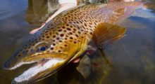 salmonfly-brown-trout-big-hole-river