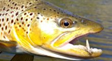 spruce-moth-fools-big-hole-brown-trout