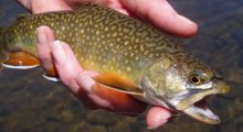 upper-big-hole-brook-trout